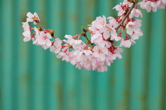 Japanse Chery-bloesem Stock Afbeelding