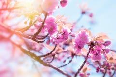 Japanse die kersenboom door zonlicht, bloeiende kersenboom wordt aangestoken - het mooie bloeien Stock Afbeelding