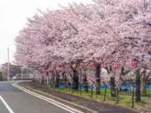 Japanse die straat met Cherry Blossoms wordt gevoerd stock foto's