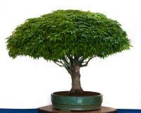 Japanse esdoorn als bonsaiboom Royalty-vrije Stock Fotografie