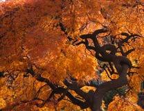 Japanse esdoorn met verdraaide boomstam Stock Fotografie