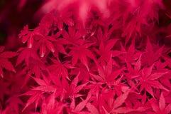 Japanse Esdoorn rode bladeren Royalty-vrije Stock Afbeeldingen