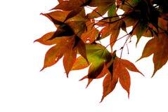 Japanse esdoornbladeren Stock Afbeeldingen