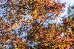 Japanse esdoornbladeren stock afbeelding