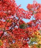 Japanse esdoornbladeren stock fotografie