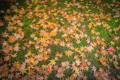 Japanse Esdoornbladeren in de herfstkleuren Stock Foto's