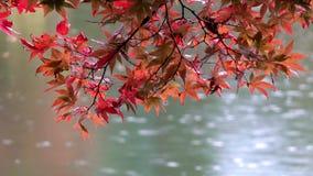 Japanse esdoornbladeren tijdens momijiseizoen bij Kenrokuen-tuin, Kanazawa, Japan stock footage