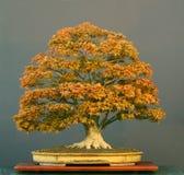 Japanse esdoornbonsai Royalty-vrije Stock Fotografie