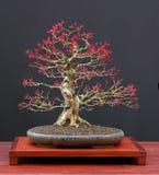 Japanse esdoornbonsai Royalty-vrije Stock Afbeeldingen