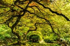 Japanse Esdoornboom Royalty-vrije Stock Afbeeldingen