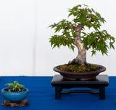 Japanse esdoornboom als shihin-bonsai Royalty-vrije Stock Afbeeldingen