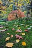Japanse Esdoornboom op een Groene Bemoste Helling Stock Foto's