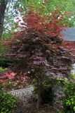Japanse Esdoornboom ` s stock foto's