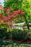 Japanse Groene Esdoorn en Brug Stock Afbeeldingen