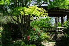 Japanse Groene Esdoorn en Rode Laurels Royalty-vrije Stock Afbeelding