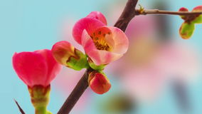 Japanse het bloeien het tot bloei komen krab-Apple samenstelling stock footage