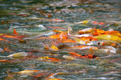Japanse het Voeden van Vissen Koi Waanzin Stock Foto's