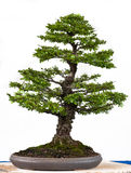Japanse iep als bonsaiboom Stock Foto