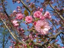 Japanse kersen roze bloesems Stock Afbeeldingen