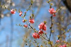 Japanse kersenbloemen stock foto's