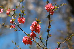 Japanse kersenbloemen royalty-vrije stock foto