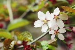 Japanse kersenbloesem bij de vroege lente stock foto's