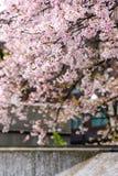 Japanse kersenbloesem & x28; Sakura tree& x29; lentetijd of hanabise royalty-vrije stock foto