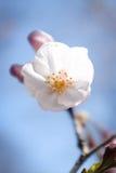 Japanse kersenbloesems Stock Fotografie
