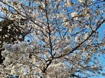 Japanse kersenbloesems in Rome, Eur weinig meer Zonnige de lentedag royalty-vrije stock foto's