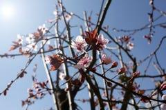 Japanse kersenbloesems Sakura of Prunus-serrulata Kanzan Zongloed het damast komt filigraan voor, bloeit de lente stock foto