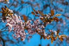 Japanse kersenbloesems tegen een lichtblauwe bokehachtergrond royalty-vrije stock afbeeldingen