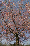 Japanse kersenboom in de lente Royalty-vrije Stock Foto