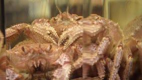 Japanse krab stock videobeelden