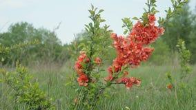 Japanse kweepeer Bush met bloemen die zich op het gebied bevinden en in de wind slingeren stock video