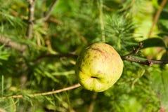 Japanse kweepeer (Chaenomeles) vruchten Stock Foto's
