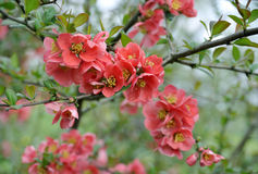 Japanse kweepeertak die - tot bloei komt Royalty-vrije Stock Afbeeldingen