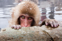 Japanse Macaque Royalty-vrije Stock Fotografie