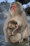 Japanse macaque Royalty-vrije Stock Afbeelding