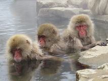 Japanse Macaque Royalty-vrije Stock Foto