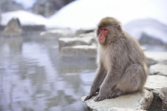 Japanse Macaque Royalty-vrije Stock Afbeeldingen
