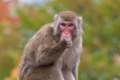 Japanse Macaque Stock Foto