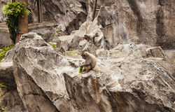 Japanse Macaque Stock Afbeelding