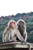 Japanse macaque, Arashiyama, Kyoto, Japan Stock Afbeelding