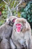 Japanse macaque, Arashiyama, Kyoto, Japan Stock Fotografie