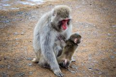 Japanse macaque en baby, Iwatayama-aappark, Kyoto, Japan Royalty-vrije Stock Foto's
