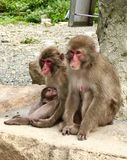 Japanse Macaque-Familie in Izu Peninsula stock foto