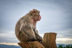 Japanse macaque op een boomstam, Iwatayama-aappark, Kyoto, Japan Stock Fotografie