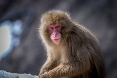 Japanse Macaque in Sneeuw, Nagano Japan Royalty-vrije Stock Foto