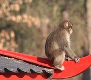 Japanse macaque in stad Stock Afbeeldingen