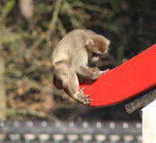 Japanse macaque in stad Stock Foto